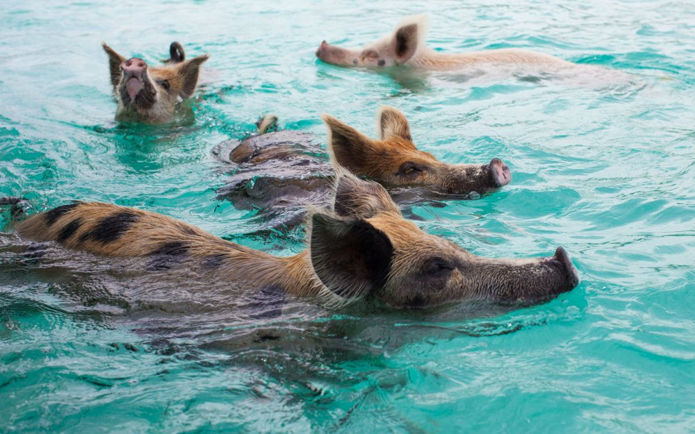pigs-swimming-PIGALCOHOL0217_1